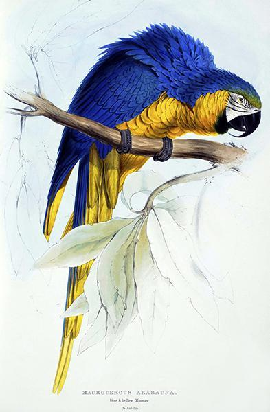 Primary image for Blue And Yellow Maccaw - Macrocercus Ararauna - Lear - Bird Illustration Poster