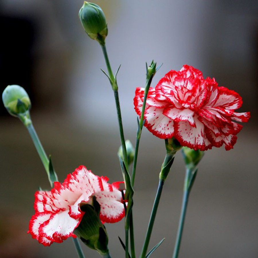 Primary image for 200PCS Dianthus Caryophyllus Heirloom Carnation Flower Seeds Home and Garden