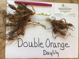 DOUBLE ORANGE BLOOM Daylily 10 fans/root systems image 3