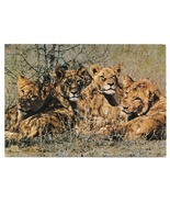 Africa Young Lions Luanga Valley National Park Zambia Big Cats 4X6 Postcard - $4.99