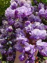"Wisteria Floribunda ""Black Dragon"", Grafted Plant – Outdoor Living - tmv - $79.95"