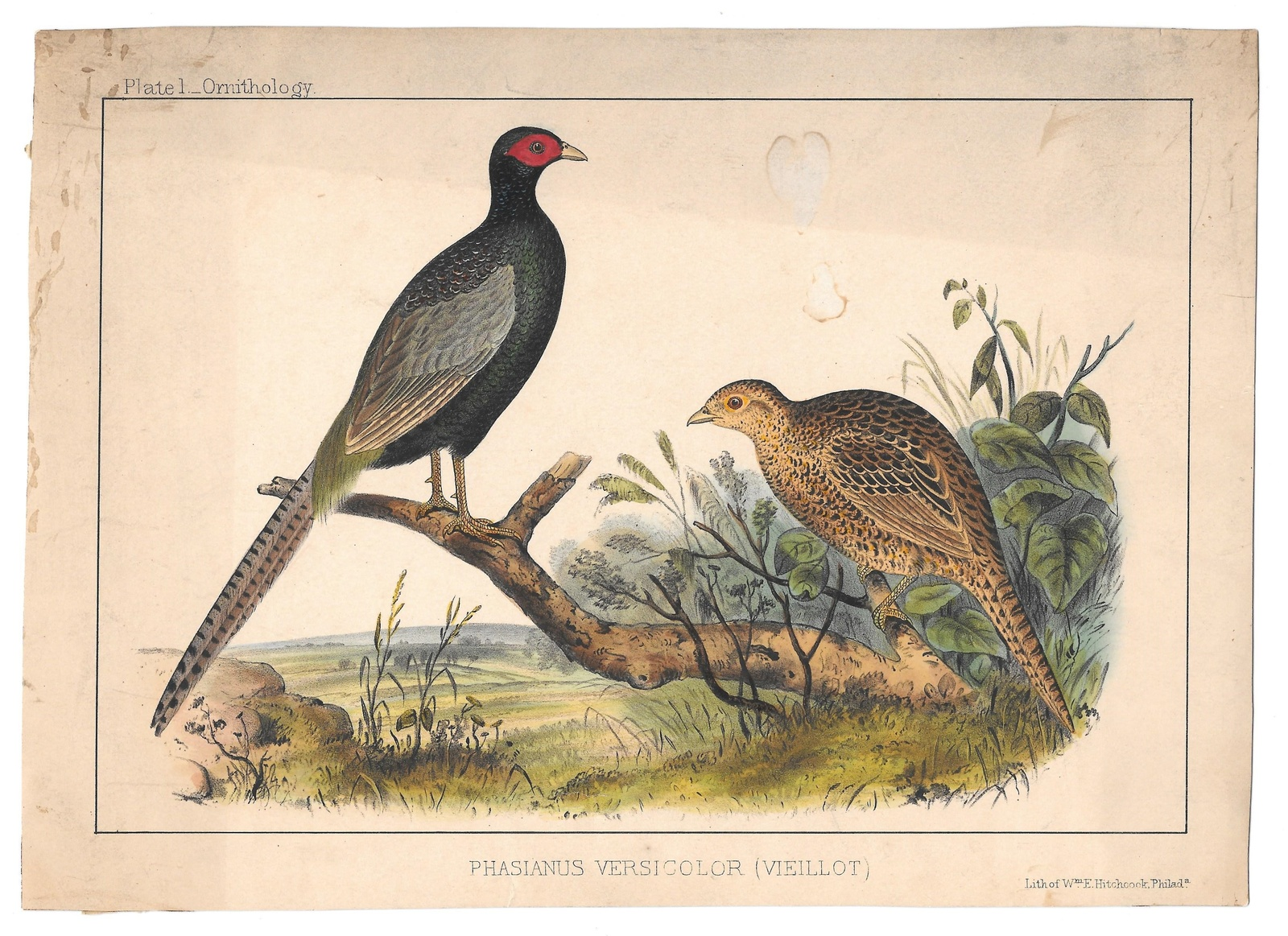 Primary image for 1854 Phasianus Cmdre Perry Japan Expedition Wm Hitchcock Bird LItho PHeasant