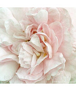 Blush Rose Gallery Wrap Canvas 30 x 30  White P... - $695.00