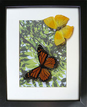 Summer Gift With Real Butterflies Collection In Shadowbox - $59.99