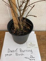 """Dwarf Burning Bush 12-18"""" gallon pot image 6"""