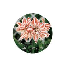 HAPPY FLOWER 2 Bulbs KLOJEN True Hippeastrum Rutilum Amaryllis Love Symbol - $1.79