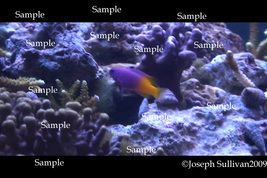 Royal Gamma Purple & Yellow Fish Freebie Computer Wallpaper Digital Down... - $0.00