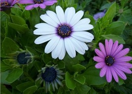 20 Seeds Flower White And Purple African Daisy Flower Seed/Mix /Osterspe... - $5.95