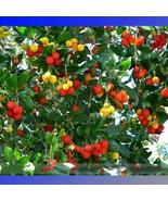 Madrone Killarney Waxberry Tree Arbutus Unedo 5 Seeds / Pack Sweet Fruit... - $5.90