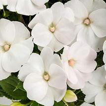 White Colored Impatiens - 5 Live Plants in 4 inch Pots - Beautiful Flowe... - $56.40
