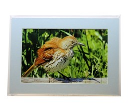Brown Thrasher Matted 5X7 Print - $12.00