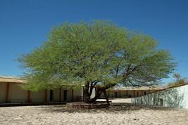 100 Prosopis chilensis Seeds, Chilean mesquite, Chilean algarrobo Seeds - $9.95