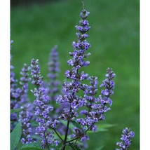 "Live Plant - Blue Diddley Chaste Tree - 4"" Pot- Vitex agnus-castus  - ga... - $55.00"