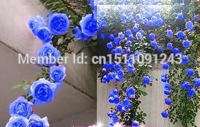 Image of Sale! rare blue climbing roses seed bag 200PC, beautiful climbing plants