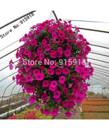 flowers 50pcs mix hang down condole petunia seeds the family garden diy free shipping thumbtall