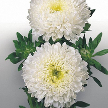 50 White China Aster Seeds CaIIistephus Chinensis Beautiful Flower Seeds - $13.58