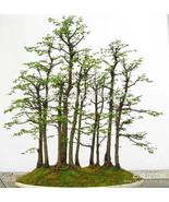 Ai seeds bonsai tree metasequoia glyptostroboides grow your own bonsai tree 50 pcs  1  thumbtall