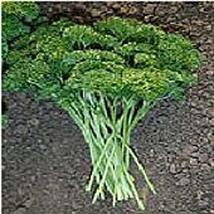 Champion Moss Curled Parsley Seeds (25 Seed Packet) (More Heirloom, Organic, Non - $2.73