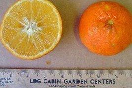 1 Starter Plant of Temple Orange - 3 Gallon - GRAFTED - $124.74