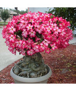 5PCS Rare Pink Adenium Obesum Desert Rose Flower Seeds Garden Bonsai Tre... - $2.00