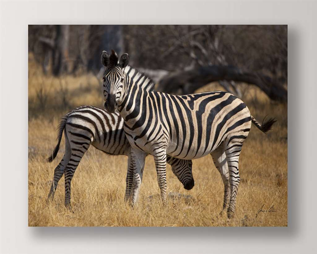 "35"" Stretched Canvas Zebras Print - Color Photo Print Close Up"