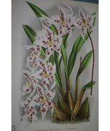 Lindenia Limited Edition Print Odontoglossum Alexandrae Orchid Art Colle... - $15.19