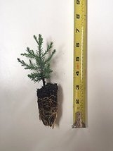 "1 Giant Sequoia Tree - California Redwood 5-8"" Tall Seedling - Potted - $30.69"