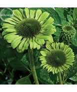 100 Pcs ''Green Jewel' Echinacea Coneflower SEED, 2-layer green petal TS264T DG - $8.00