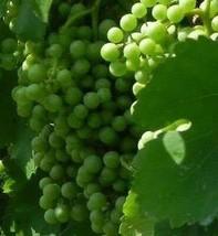 Muscat White Wine Grape Vine 3 gallon Live Plant Home Garden Easy to Gro... - $53.30