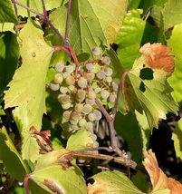 SHIPPED FROM US 20 Canyon Grape Fruit Vitis Arizonica Vine Climber Seeds... - $19.00