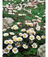 50 Anacyclus Depressus Carpet Daisy Flower Seeds - $17.99