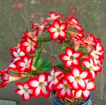 300pcs Very Enchant Adenium Obesum Bulk Desert Rose Bonsai Tree Flower seeds - $120.89