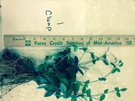 Vinca Minor vine 100 plants/clumps Periwinkle graveyard ground cover image 2