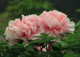 BEST PRICE 5 Seeds Heirloom Pink Gu Luo Kui Peony, DIY Decorative Plant ... - $5.00