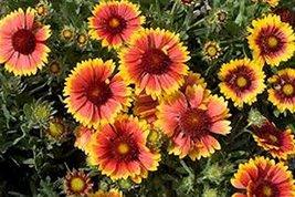 100 Blanket Flower (Gaillerdia) Seeds - $8.99
