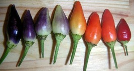 SHIP FROM US 25 BOLIVIAN RAINBOW PEPPER MULTI COLORED CHILI Capsicum See... - $12.00