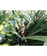 Live Patio Pineapple Plant (bare root) - $6.99