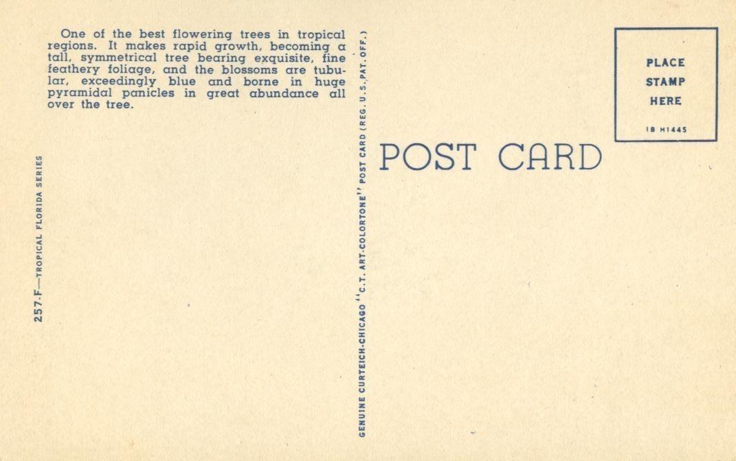 Jacaranda Tree Acutifolia, in full bloom, Florida, unused linen Postcard