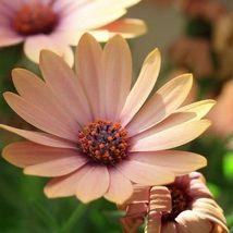 40 Seeds Salmon African Daisy Flower Annual - $16.65