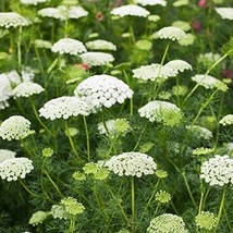 Non GMO Bulk Bishop's Flower Seeds Ammi majus (False Queen Anne's Lace) (5 lbs) - $249.48
