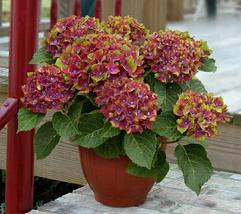 Live Plant Pistachio Next Generation Mophead Hydrangea Trade Gallon Pot - $69.99