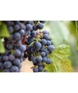 30 Grape Vine Seeds Vitis Vinifera Fruit Bonsai - $8.66