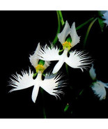 100 World's Rare Flowers Japanese Radiata Seeds White Special - $10.20