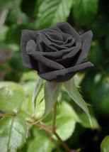 Black rose 1 thumb200