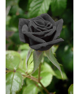 10 Rare Black Rose Flower Seeds High Quality Easy to Plant - $5.98
