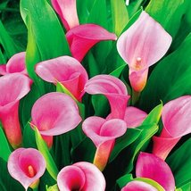 50 Pink Zantedeschia Aethiopica, Calla Lily Seed - $7.99