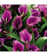 50 Purple Zantedeschia Aethiopica, Calla Lily Seed - $7.99