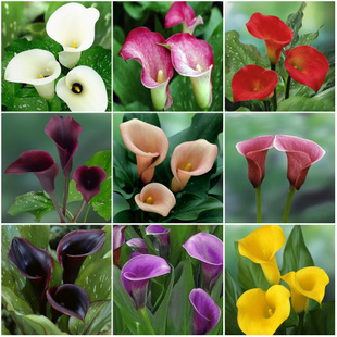 Primary image for 50 Mixed Color Zantedeschia Aethiopica Seeds, Calla Lily Seed