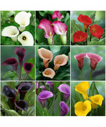 50 Mixed Color Zantedeschia Aethiopica Seeds, Calla Lily Seed - $2.20