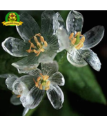 Rare Exotic Blooming Plants Transparent Flowers Seeds 200pcs A - $4.60